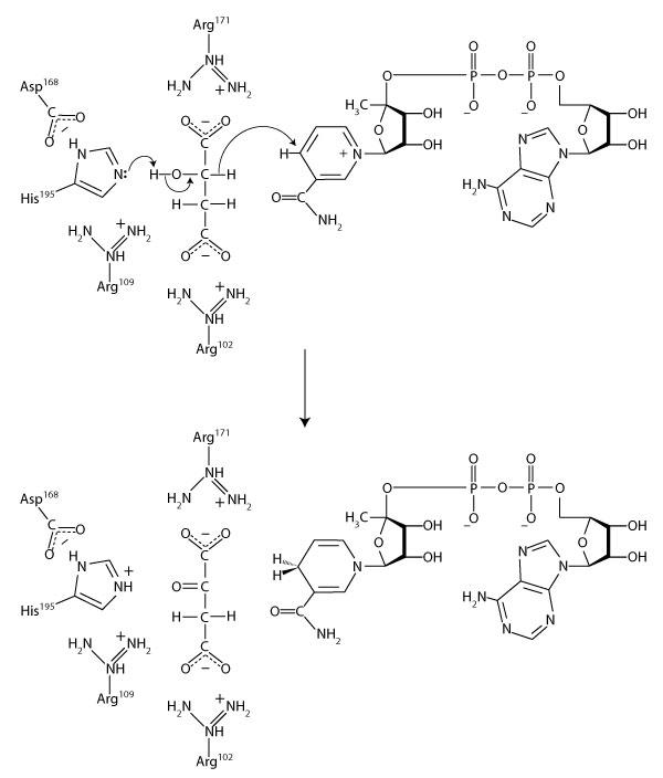 malate_dehydrogenase_complete_mechanism_600.jpg